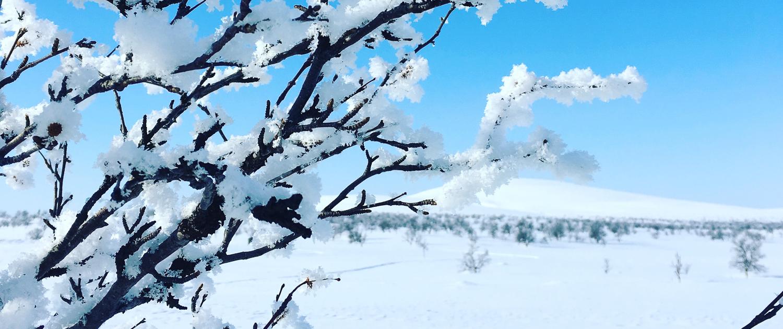 Kuvan edustalla lumen kuorruttamia koivun oksia, taustalla tunturi.